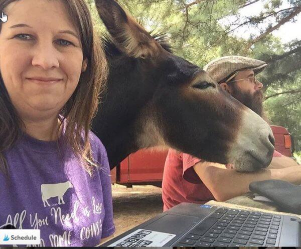 Cows gypsyfarmgirl
